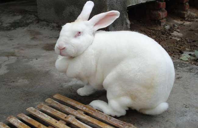獭兔养殖技术及视频指导