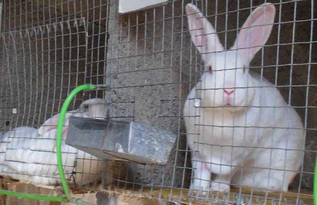 肉兔配种的技术