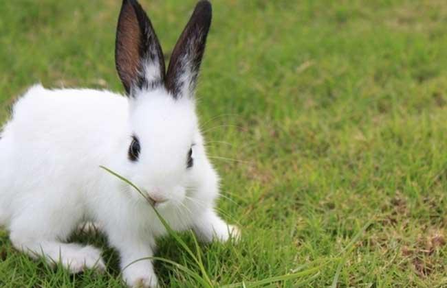 肉兔的养殖成本及经济效益