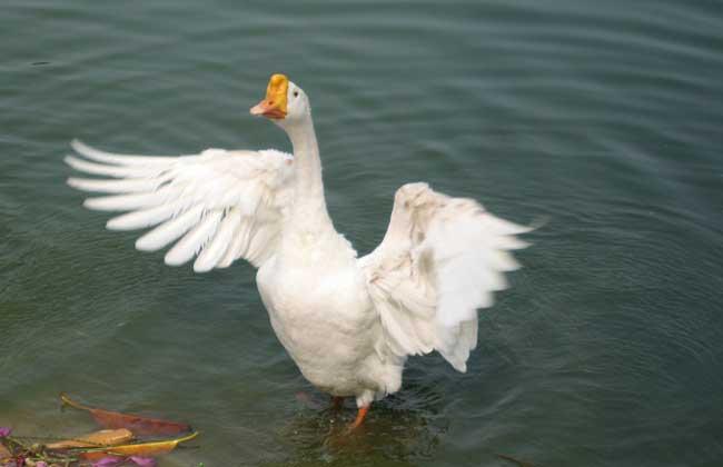 雏鹅养殖过程中如何防止中毒