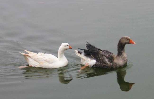 鹅大肠杆菌病的治疗措施
