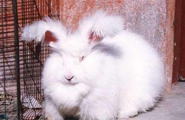 长毛兔高效养殖技术