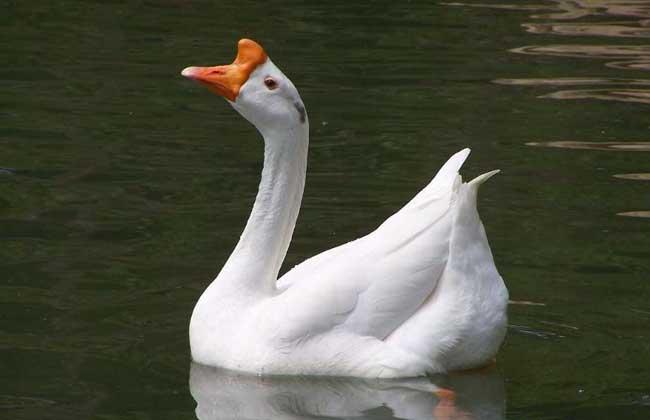 后备种鹅的选留与饲养管理