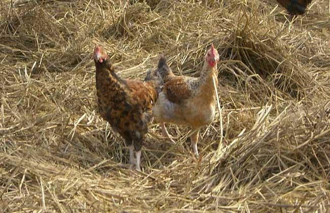 鸡养殖场常见鸡病诊断和防治