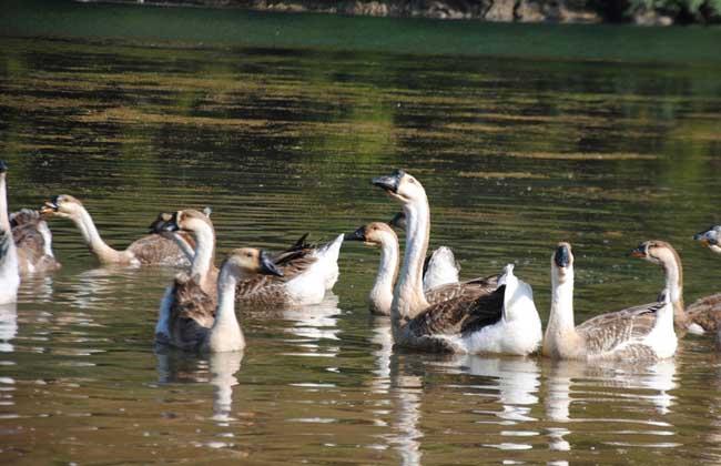 鹅的养殖成本和养殖利润