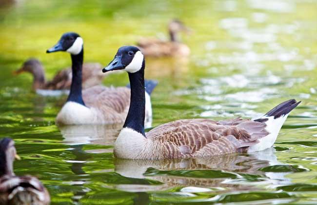 鹅场消毒常见的几个误区