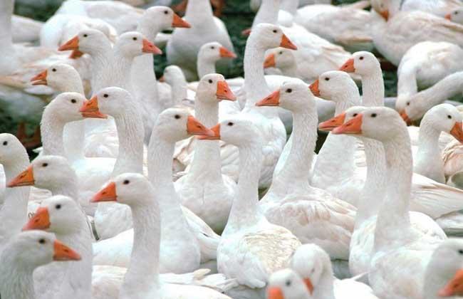 优质鹅肥肝鹅的养殖技术