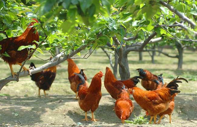 鸡伤寒的防治措施