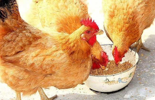 禽霍乱的防治措施