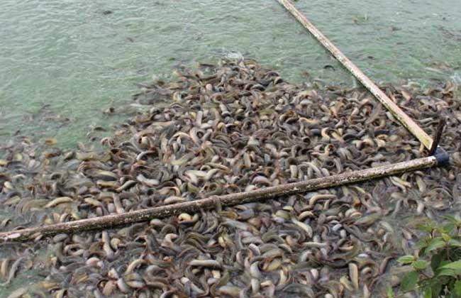 网箱泥鳅养殖技术
