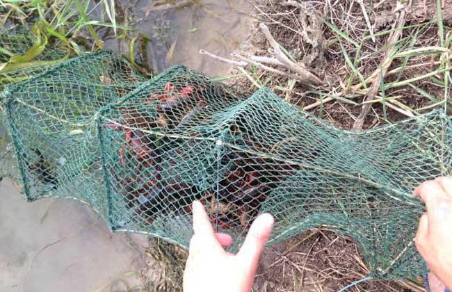 小龙虾渔塘混养管理技术