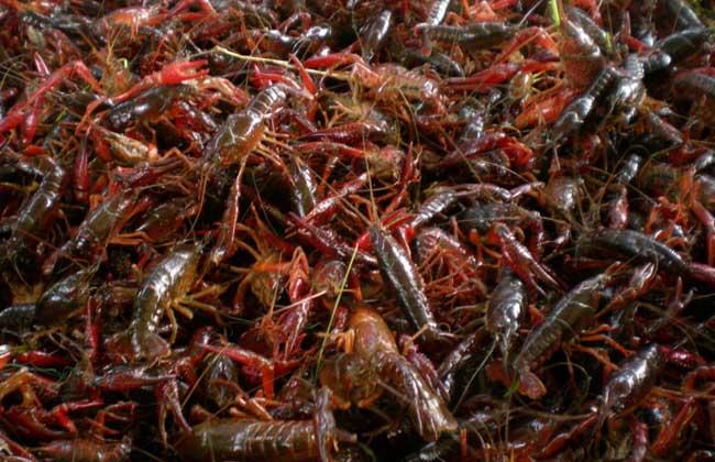 龙虾养殖常见误区