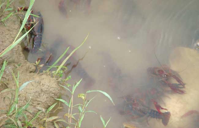 小龙虾高产养殖技术