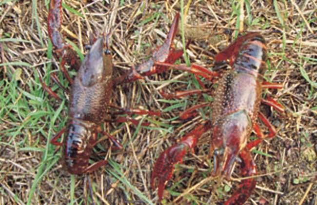 影响小龙虾养殖效益的因素有哪些