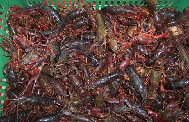 小龙虾苗种的人工繁育技术