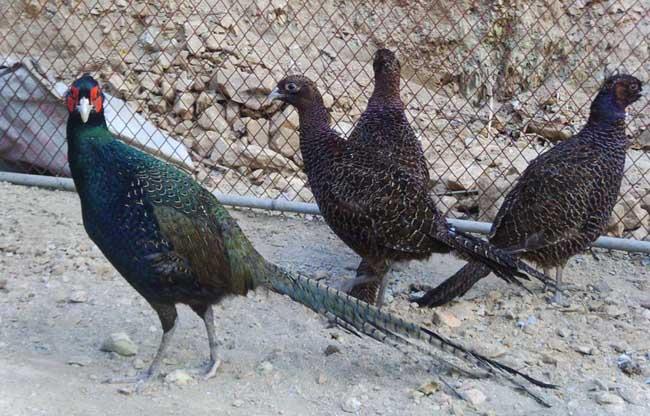野鸡养殖场的选择与设计