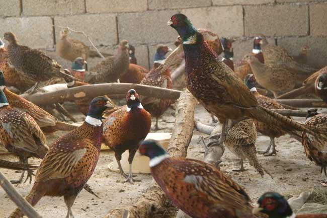 山鸡养殖商品鸡的饲养管理技术