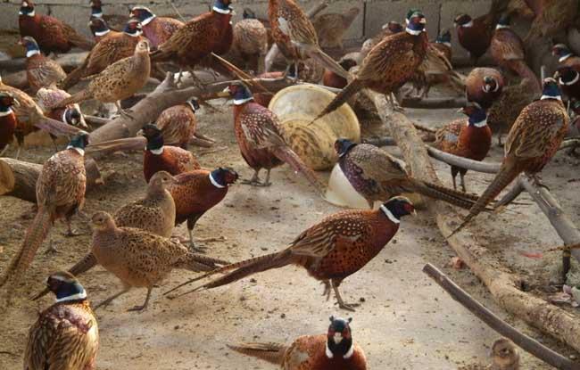 野鸡养殖中对养殖密度要求