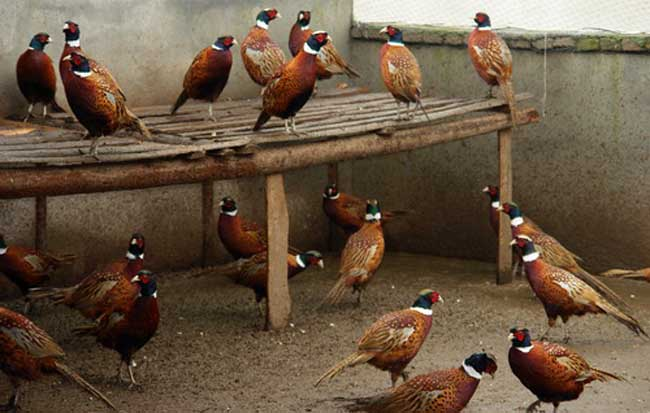 山鸡养殖的繁殖特性
