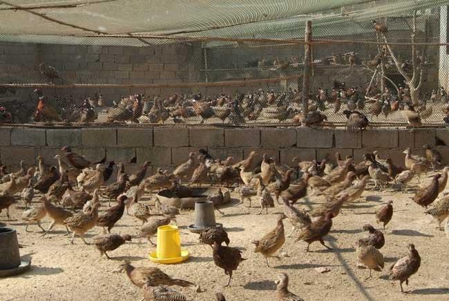 美国七彩山鸡驯养技术