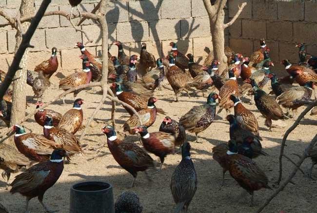 山鸡养殖的市场前景和经济价值