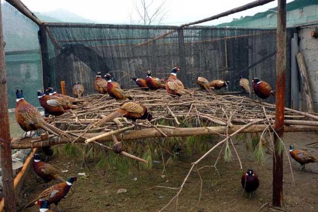 七彩山鸡的养殖前景