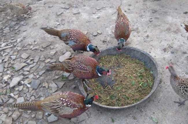 野鸡养殖场地消毒方式