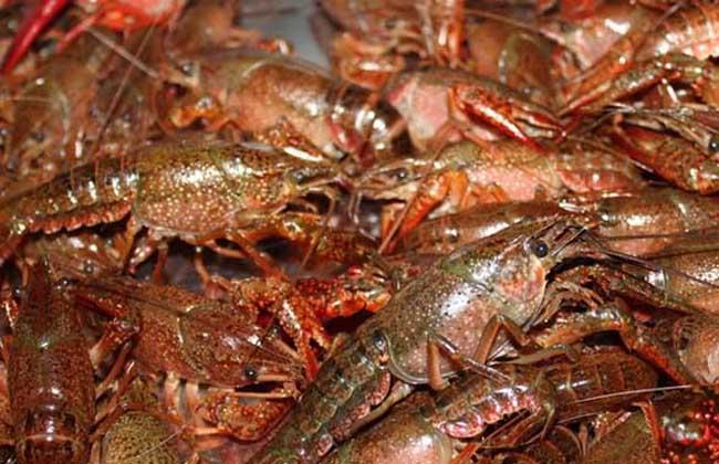 龙虾养殖的效益分析和市场前景