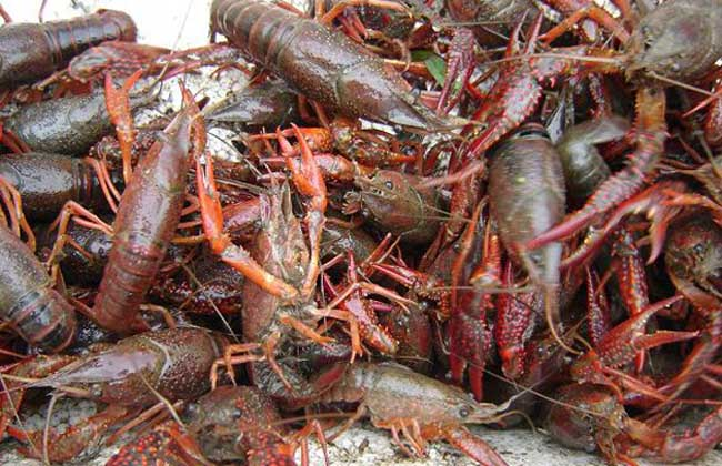 小龙虾的人工养殖技术