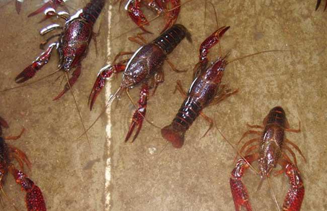 澳洲淡水龙虾养殖技术