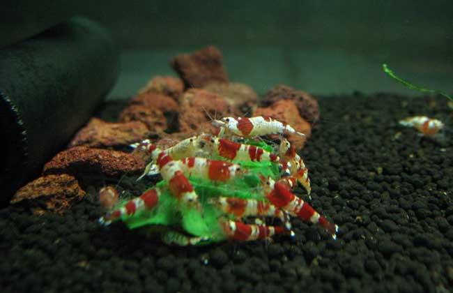 水晶虾养殖技术