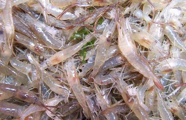 中国对虾养殖技术