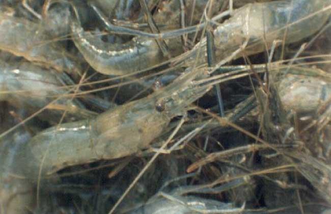 青虾高效池塘养殖技术