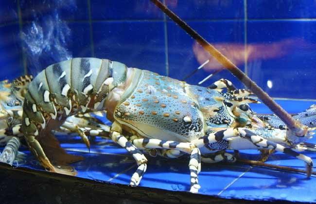 澳洲大龙虾养殖技术