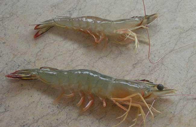 海虾养殖技术
