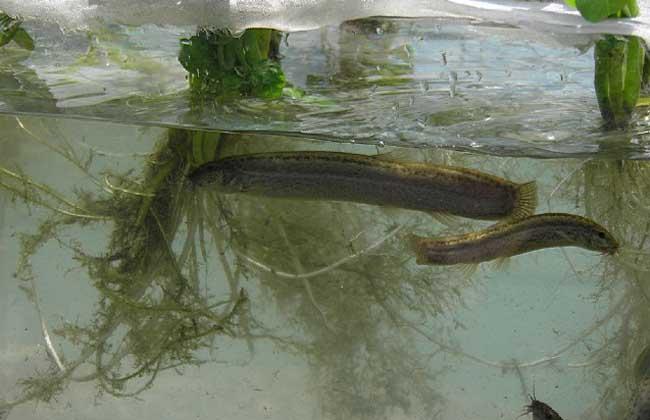 泥鳅稻田养殖技术