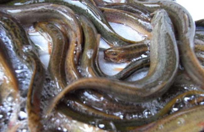泥鳅的养殖方式