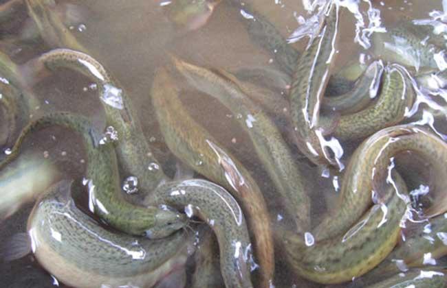 泥鳅养殖中喜欢吃什么