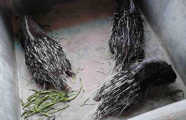 豪猪养殖的人工繁殖技术