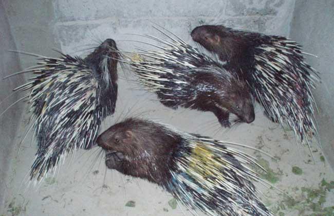 豪猪养殖日常管理方案
