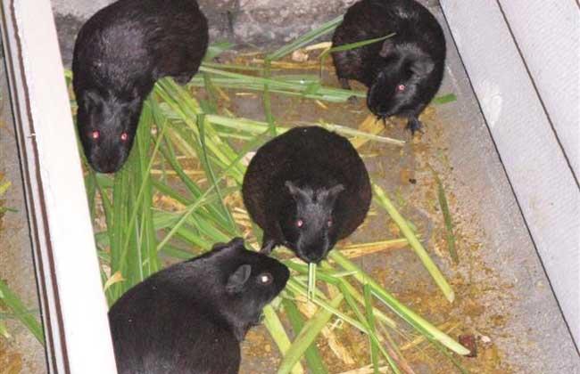 黑豚饲料人工搭配方案