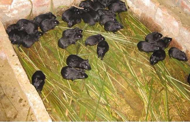 黑豚膨胀病与干瘦病的防治方法