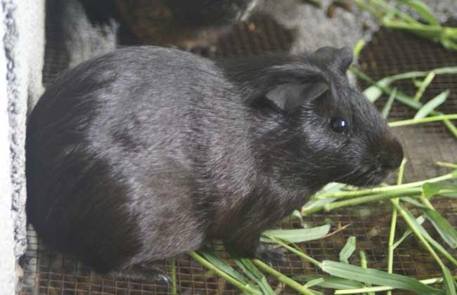 黑豚养殖的市场经济价值