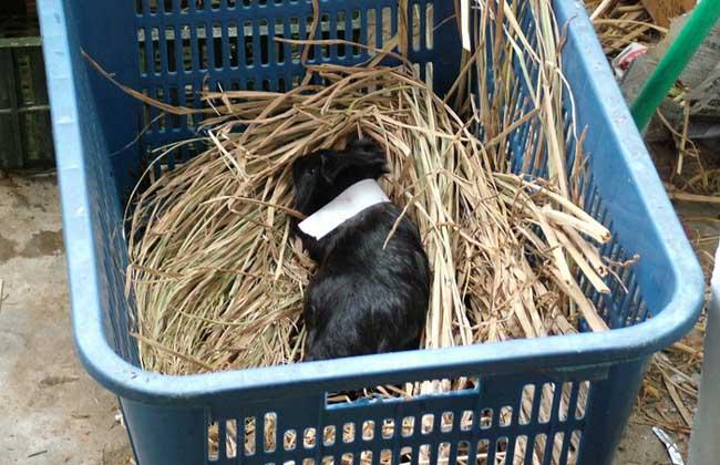 黑豚养殖需注意的事项