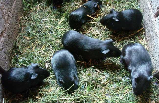 黑豚养殖有哪些优势