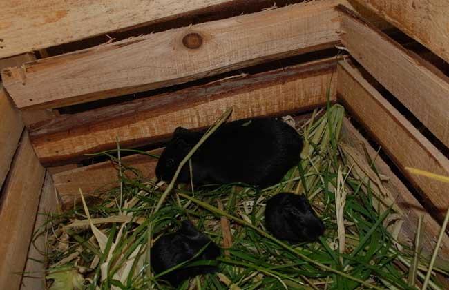提高黑豚繁殖力的几种措施