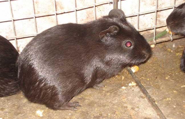养殖的黑豚是否患病的鉴别方法