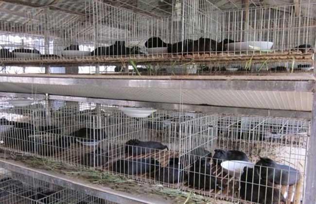 黄豚养殖前景