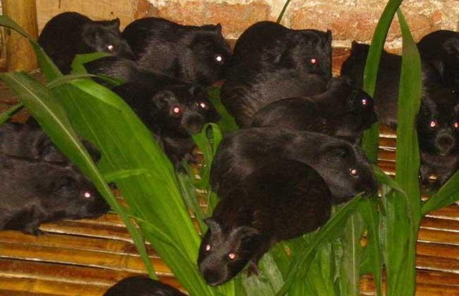 黑豚巨细胞病毒感染