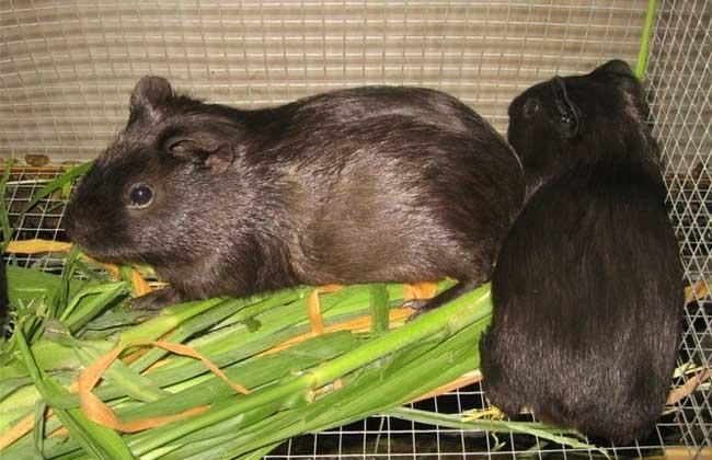 中国黑豚的市场前景与养殖技术